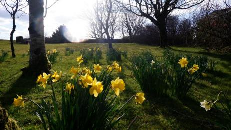 Spring daffodils blooming in Polrunny Farm's expansive 'farm garden' which also includes swings and a climbing frame.