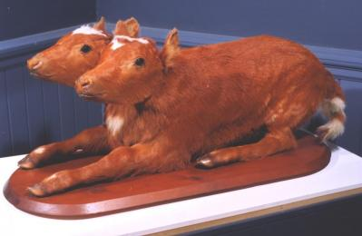 The Two-Headed Calf, which appears in the 'Melton Through the Ages' gallery.