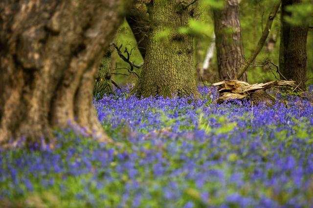 Bluebells in the woods at The Lodge Reserve