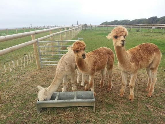 alpacas, bedandbreakfast, B&B