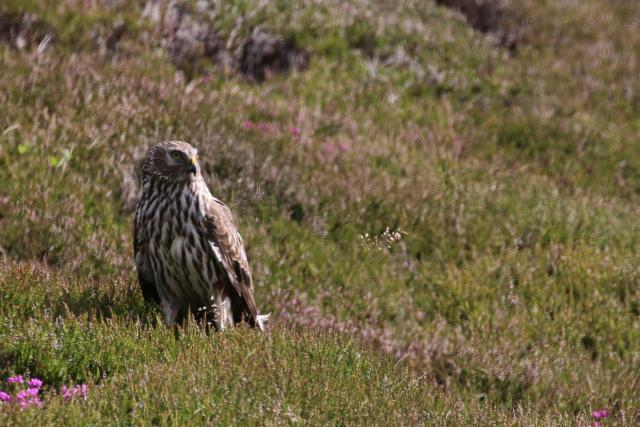 Hen harrier, ringtail on ground by Christine Hall