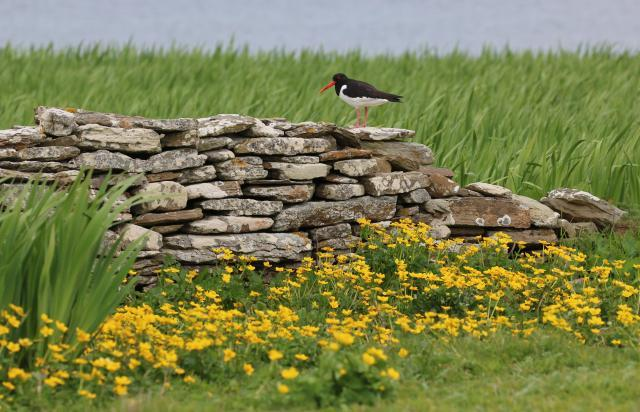 Oystercatcher on stone wall at Onziebust