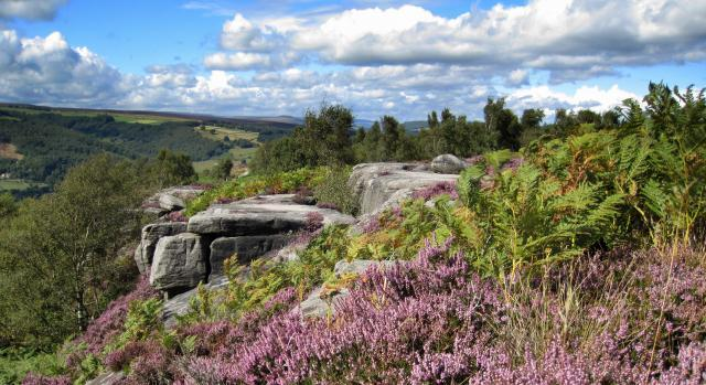 A gritstone edge surrounded by blooming heather and soft green bracken on a beautiful summers day
